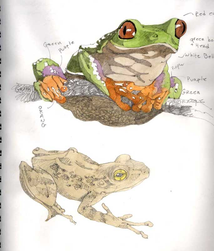 Sketches of Frogs by Eddie Flotte