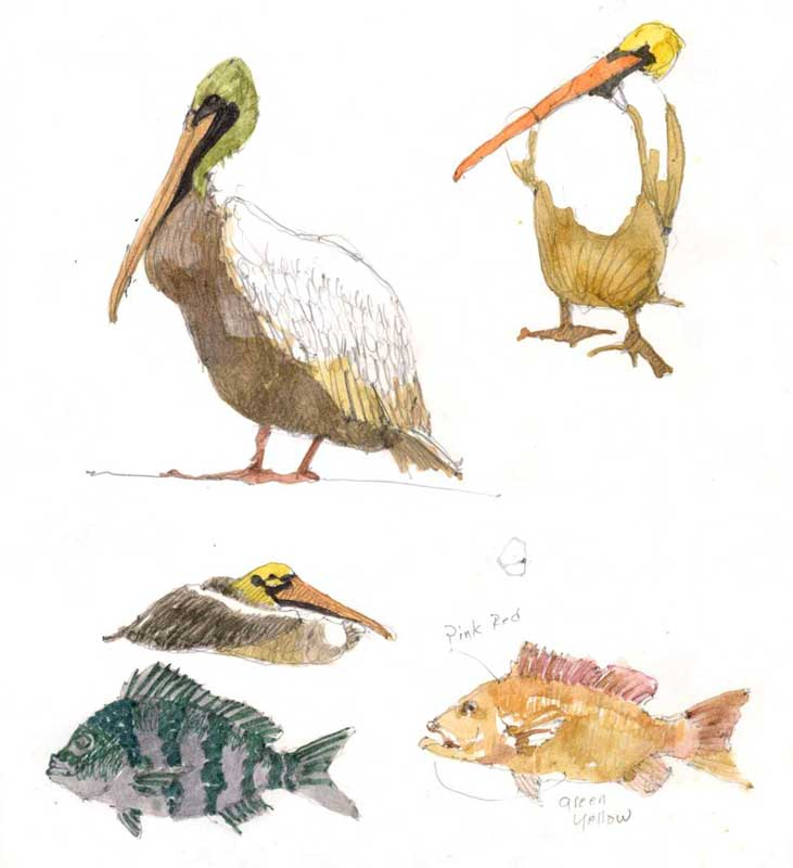 Sketches of Pelicans and Fish by Eddie Flotte