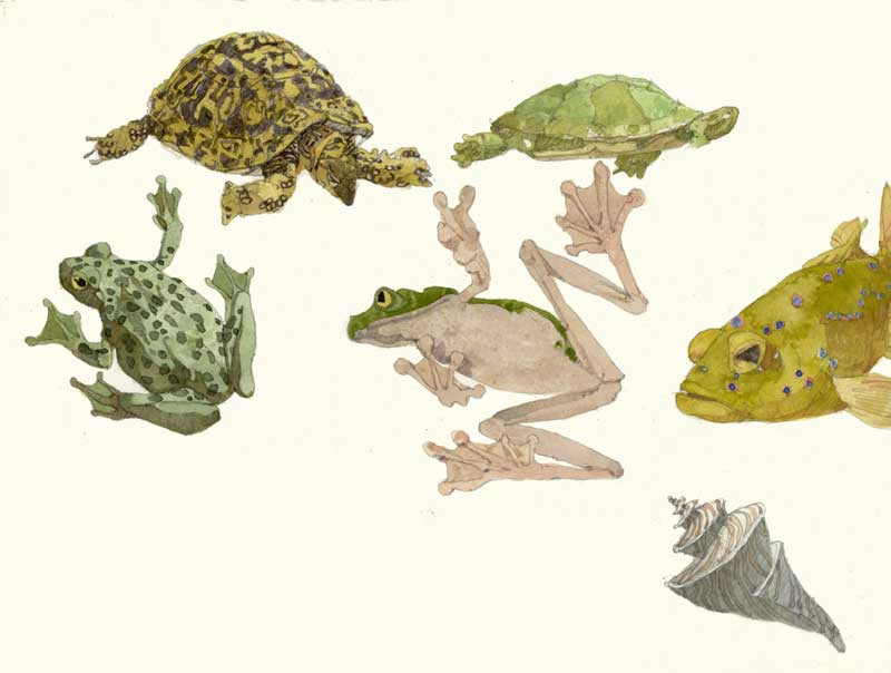 Sketches of Turtles and Frogs by Eddie Flotte