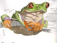 Painting by Eddie Flotte: Sketches of Frogs