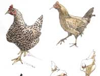 Painting by Eddie Flotte: Sketches of Hens