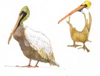 Painting by Eddie Flotte: Sketches of Pelicans and Fish