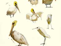 Painting by Eddie Flotte: Sketches of Pelicans